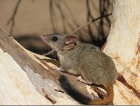 Red Tailed Phascogale